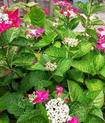 bloeiende hortensia in de zomer