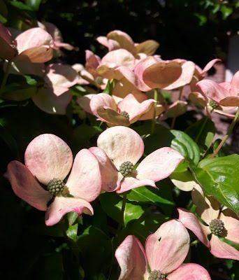 cornus in bloei