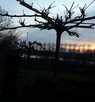 gesnoeide boom in de winter
