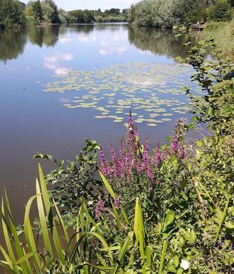waterlelies in de zomer