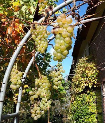 wijnrank in de herfst